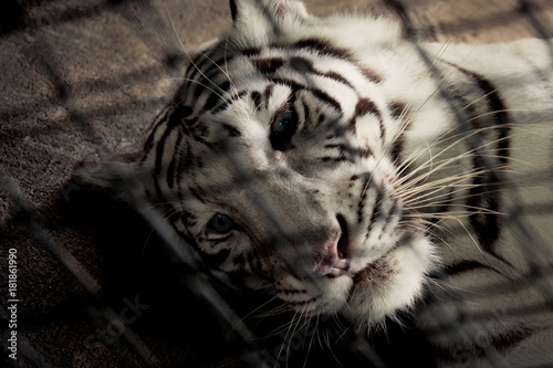 Sadness white tiger in cage