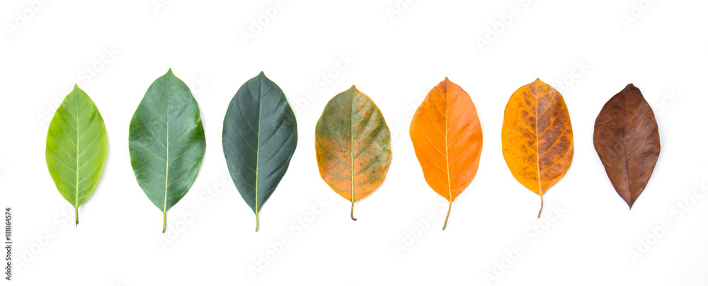 Fototapety, obrazy: Closeup eaves in different color and age of the jackfruit tree leaves. Line of colorful leaves in autumn season. For environment changed concept. Top view or flat lay background and banner.