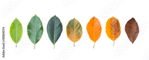 Obraz Closeup eaves in different color and age of the jackfruit tree leaves. Line of colorful leaves in autumn season. For environment changed concept. Top view or flat lay background and banner. - fototapety do salonu