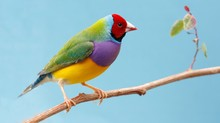 Pretty Gouldian Finch From Aus...