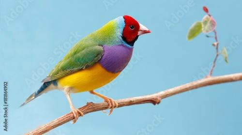 Tableau sur Toile Pretty Gouldian Finch from Australia