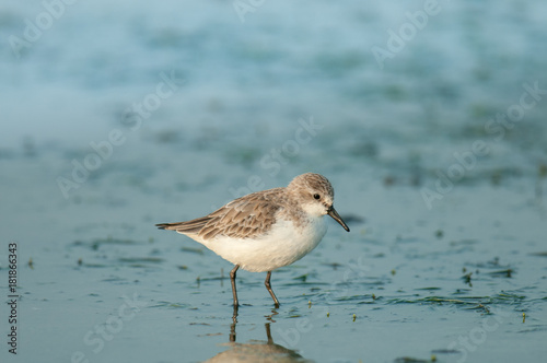 Fotografie, Tablou Little water bird walking in the salt pan, Sandpiper, stint