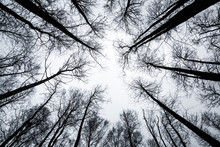 Looking Up. Bare Trees Branches Without Leaves On Pale Sky Background In Twilight. Mystical Atmosphere.