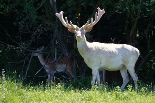 Photo Albino white deer