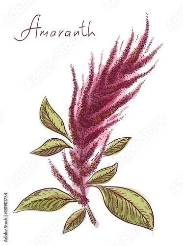 Amaranthus or amaranth. Vector illustration. Wallpaper Mural