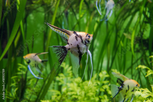 Photo Silver angelfish close up surrounded by freshwater plants in aquarium