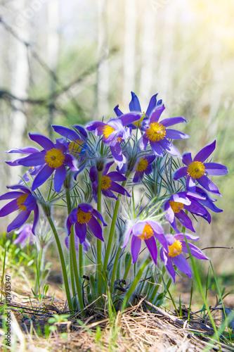 Fototapeta Spring landscape. Flowers growing in the wild. Spring flower Pulsatilla. Common names include pasque flower or pasqueflower, wind flower, prairie crocus, Easter flower, and meadow anemone. obraz na płótnie