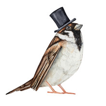 Sparrow Bird Dressed In Black ...