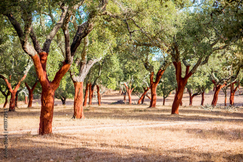 Photo Beautiful view on the plantation of cork oak trees with freshly crumbled bark in