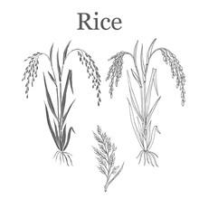 Rice Plant Vector Illustration