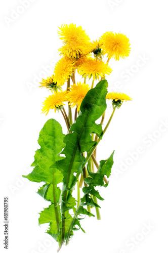 Fototapeta Yellow dandelion flowers on a white background