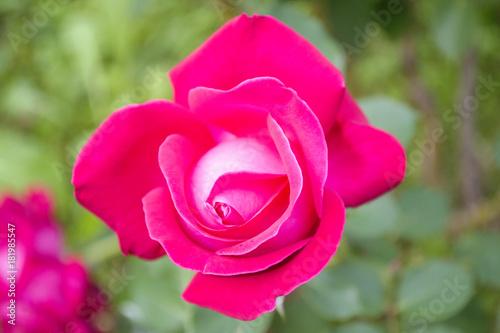 Plakat ukwiecona róża