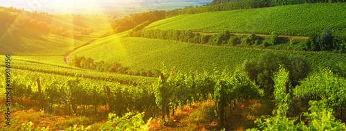 Fotografie, Tablou Vineyard in Villany Hungary, panorama view