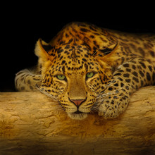 African Leopard Resting At A T...