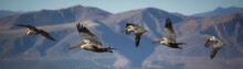 Pelicans In Flight With Mountain Background
