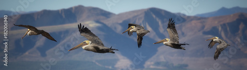 Valokuva Pelicans in flight with mountain background
