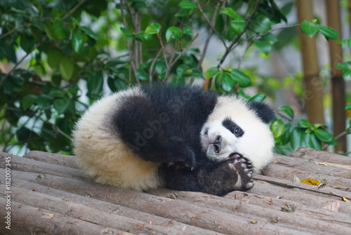 Keuken foto achterwand Panda young panda sleeping outside