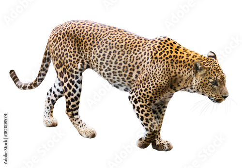 Keuken foto achterwand Luipaard leopard
