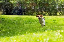 Running Dog In Summer Garden