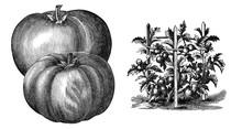 Illustration Of Vegetables.