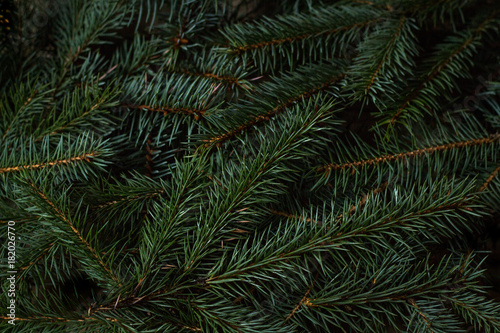 Fényképezés  Spruce branches. Can be use how background
