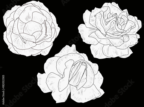 isolated-three-white-and-black-rose-blooms-sketches