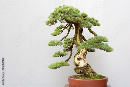 Papiers peints Bonsai Twisted bonsai pine tree in a pot against a grey wall in BaiHuaTan public park, Chengdu, China