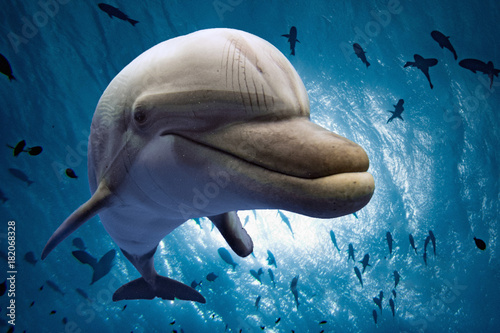 фотографія  dolphin underwater looking at you