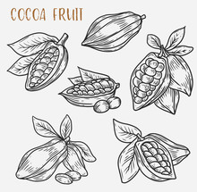 Sketches Of Cocoa Beans On Pod...