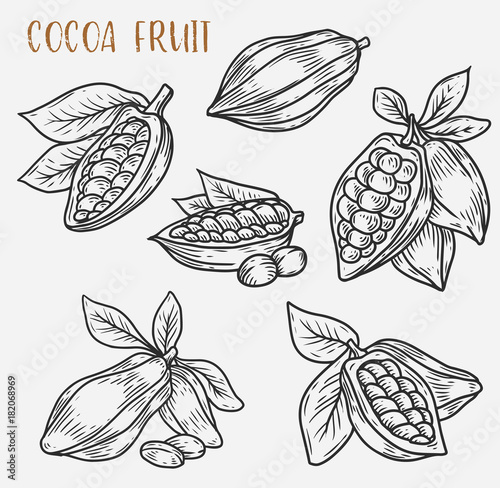 Pinturas sobre lienzo  Sketches of cocoa beans on pod, cacao plant