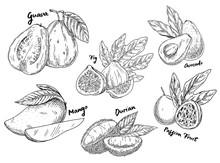 Sketch Of Guava And Avocado, F...