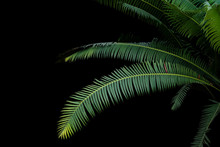 Green Leaves Of Gum Palm Or Gi...