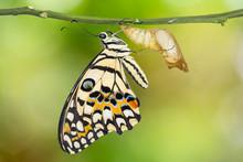 Lime Butterfly Or Lemon Butterfly (Papilio Demoleus)