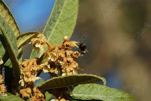 Fotografia, Obraz  Faux bourdon butinant des fleurs de nefles