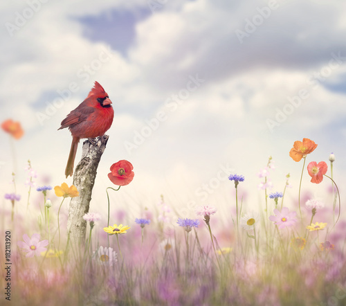 Foto Cardinal bird in a flower field
