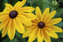 Pair Of Black-Eyed Susans Bloo...