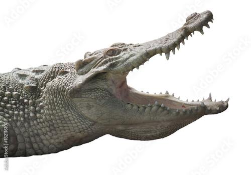 Albino Crocodile head  / Skin is white , nearly extinct , found in Southeast Asia
