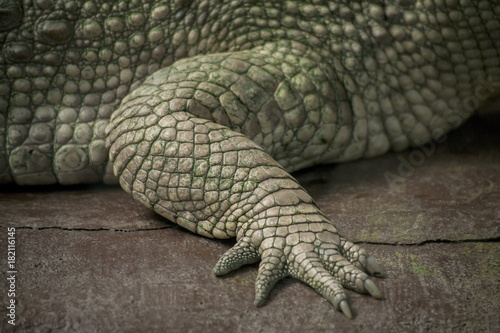 Albino Crocodile front leg  / Skin is white , nearly extinct , found in Southeast Asia