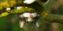 Cat Biting A Branch Upside Dow...