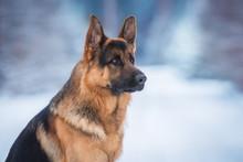 Portrait Of German Shepherd Do...
