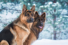 Portrait Of Two German Shepher...