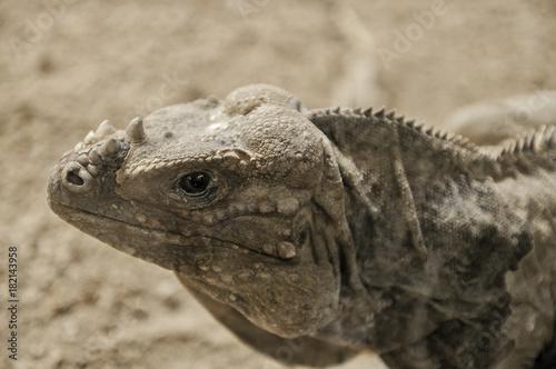 Photo Iguana adulta
