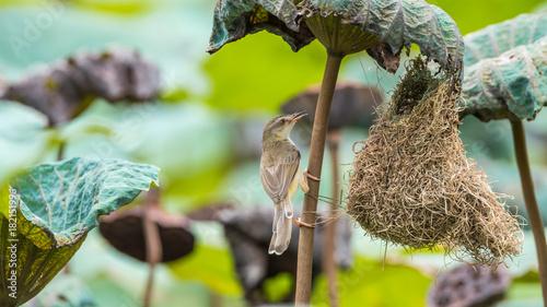 Valokuvatapetti Bird (Plain Prinia) build bird nest in the nature