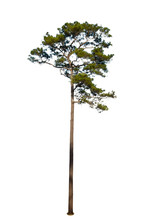 Isolated Pine Tree On White Ba...