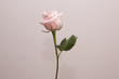 Leinwanddruck Bild - Single rose on colour background isolated, front view