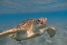 Green Sea Turtle Swimming In T...