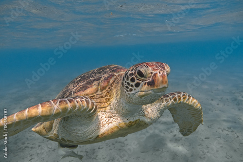 Poster Tortue Green sea turtle swimming in the tropical sea close up