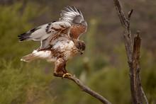 Hawk Getting His Balance