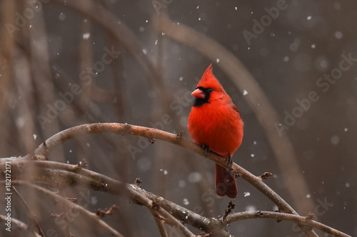 Photo  Cardinal in the Snow