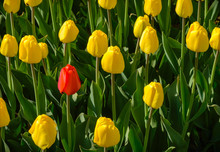 One Red Tulip Among Yellow On A Green Background